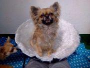 Wir suchen einen Chihuahua Deckrüden