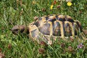 Griechische Landschildkröten THB männlich
