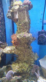 Anemonenfische mit Anemone auf der