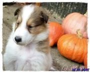 Colliewelpen CHW weiß tricolor sable