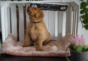 Letzer Labrador Rüde