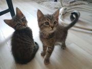 Bkh Maincoon Kitten