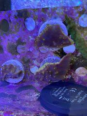 Korallen Ableger Caulastrea Turbinaria Meerwasser
