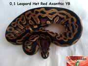 0 1 Leopard HRA YB