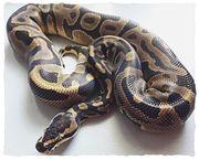 2 Königspython Python