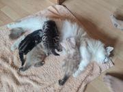 4 Perser MainCoon Kitten suche