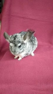Chinchilla m w