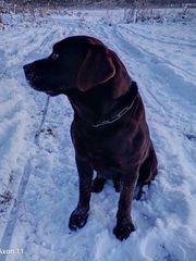 Schokobrauner Labrador als Deckrüde kein