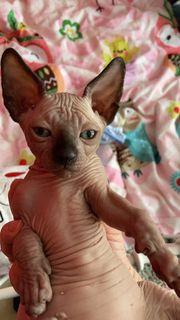 Sphynx kanadische Kitten