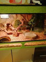 königspython mit terrarium