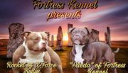 Top American Bully Welpen ABKC