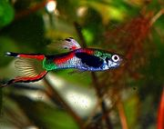 Endler Guppy Black Bar wunderschön
