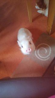 Mini hausschwein