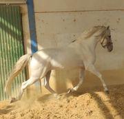Sanftmütiger Andalusier - ein Einhorn