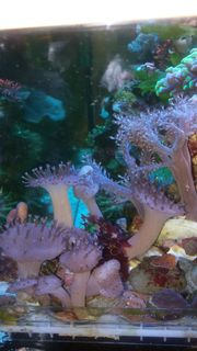 Einsteiger-Set Meerwasser Ableger Korallen Anemonen