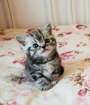 kleine süße Tiger zu verkaufen