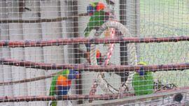 Vögel - gebirgslori zu verkaufen