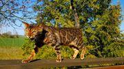Wunderschöne Bengalkatze sucht ein neues