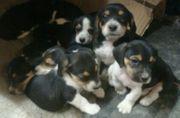 Beagle Mix Welpen