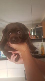 Reinrassige Braune Labrador Mädchen