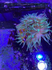 Meerwasser Anemonenfische