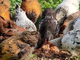 Zwerghühner: Kleinanzeigen aus Mäder - Rubrik Tierbetreuung