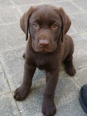 Wunderschöne Labrador Welpen in Braun