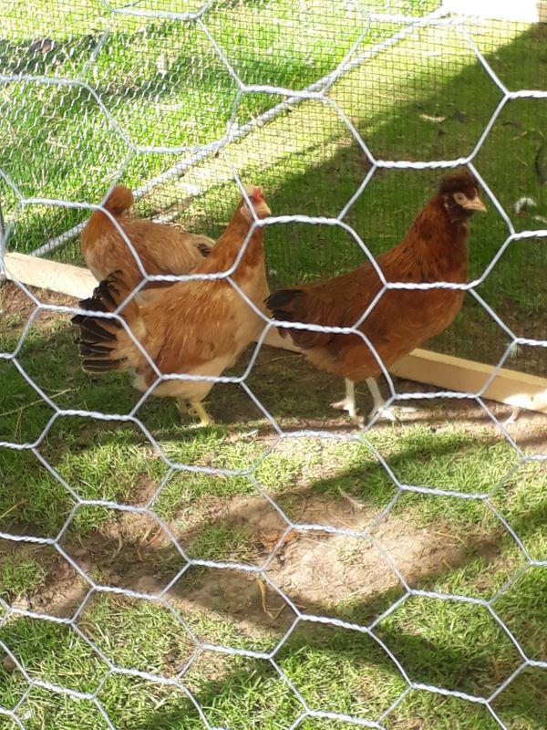 3 druffler haubenhühner