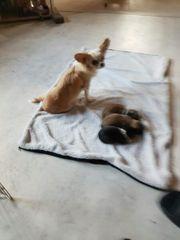 chihuahua pomeranian welpen
