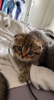 Bkh Scottish fold mix kitten