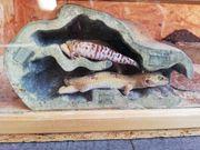 2 Leopardgeckoweibchen mit vollständigem Zubehör