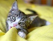 Suche 1-2 Wohnungskatzen Katzenbabies