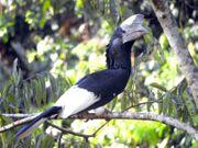 Grauwangenhornvögel