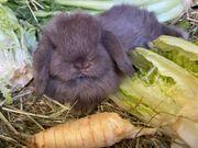 Kaninchen mini lop minilop Zwergwidder