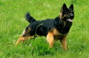 Deckanzeige Altdeutscher Schäferhund