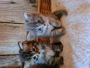 BLH Katzenbabies Kitten abzugeben