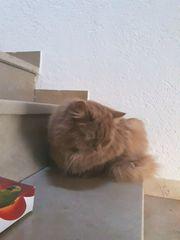 Britisch Langhaar Katzen