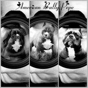 American Bully Pocket Deckrüde