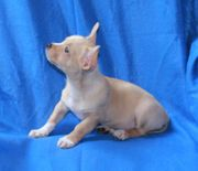 Chihuahua Welpe weiblich