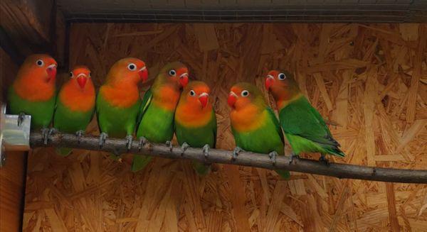 Agaporniden Unzertrennliche Lovebirds