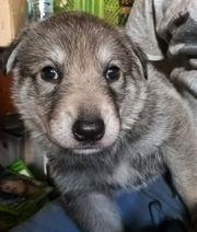 Wolfshundewelpen