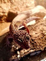Leopardgeckomännchen Gecko Leopardengeckos Terrarium