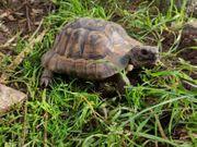 Maurische Landschildkröte
