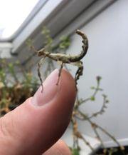 Australische Gespenstschrecken