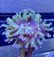 Euphyllia Paraancora Meerwasser Salzwasser Aquarium