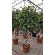 Ficus exotica - - Besondere Stämme art96993