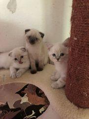 Süße baby BKH Kätzchen