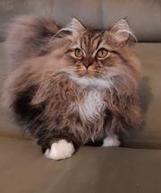 Perser Kätzchen in seltenen Farben