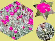 Pflanzen der Kronen-Lichtnelke Heilpflanze in