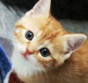 4-süßen BKH-Kitten suchen ein schönes